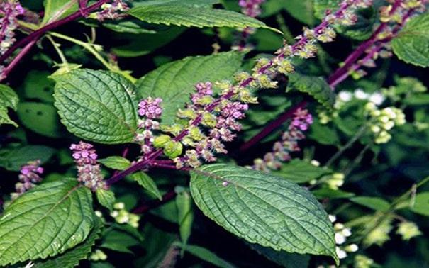 Bài thuốc trị bệnh trĩ bằng hương nhu tía
